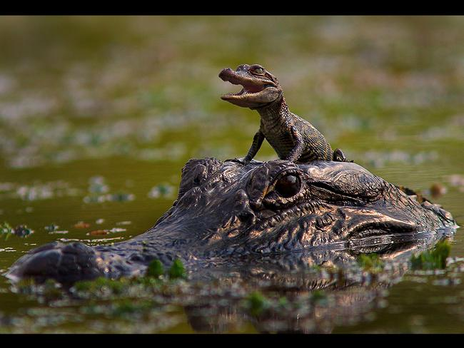 A baby Alligator gets a ride on his mums head. Picture: Picture Media