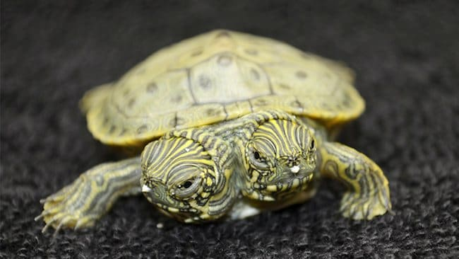 Thelma and Louise, a two-headed Texas cooter turtle, is seen in a photo provided by the San Antonio Zoo.