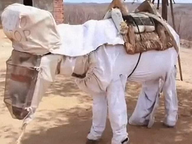 Buzz over donkey's beekeeper suit