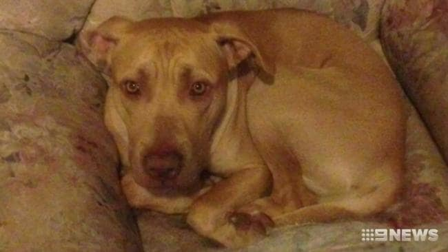 Tania Klemke's dog Simba killed her in a vicious attack on Wednesday morning. Picture: Nine News.