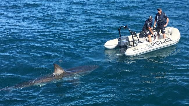 A shark stalks a police launch at Tapley Shoal, about nine miles away from Edithburgh on Saturday. Picture: SAPOL