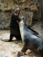 Sea Lions. Here are some pics i have taken at the adelaide zoo, for your web page hope you like them. John Jones (85247137) Picture: Supplied By John Jones