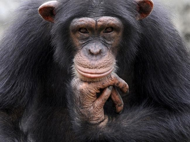 Author David Quammen believes AIDS most likely jumped species though a hunter who killed a chimpanzee infected with simian immunodeficiency virus and was wounded in the process.