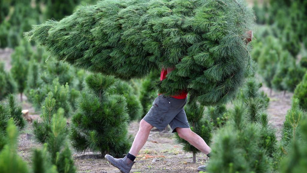 dandenong christmas tree farmer neil cranston carries an eight footer to a waiting family - Christmas Tree Farming