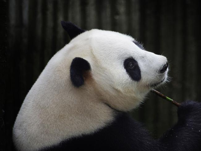 Ai Hin got extra care, attention, and food when it was thought she was pregnant