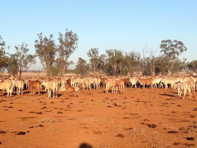 Cattle roam the drought affected property in Cheepie, 200km southwest of Charleville, Queensland.