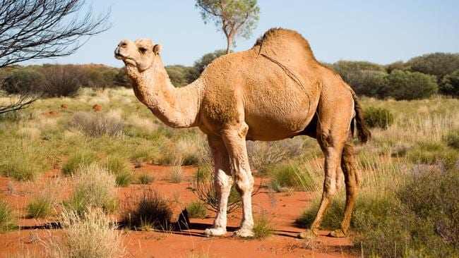 Would you eat a camel burger?