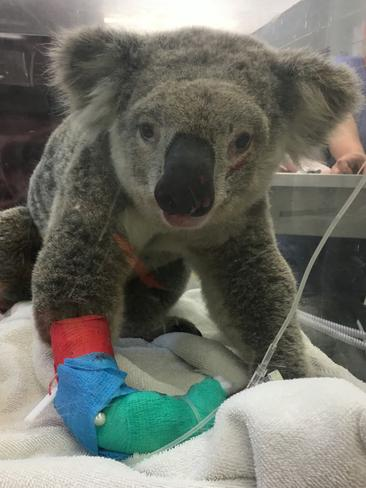 Valiant was hit by a car on Appin Rd, suffering serious injuries and had to be put down the day after this photo was taken. Picture: Supplied