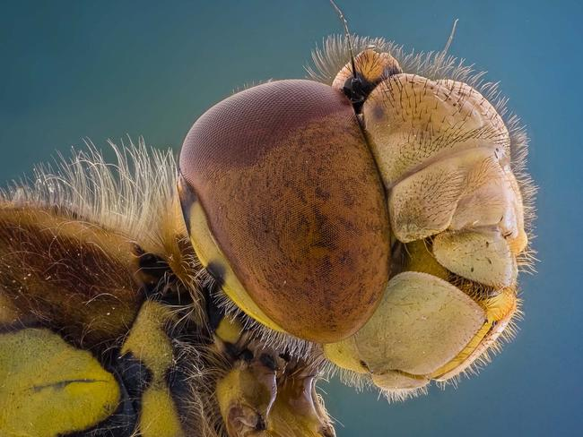 This insect looks truly bizarre, with wispy hair, bulbous head and flashes of bright yellow. Picture: Kutub Uddin/ Caters News