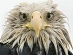 Wildlife Photographer of the Year: Bold eagle Klaus Nigge, Germany Finalist 2017, Animal Portraits After several days of constant rain, the bald eagle was soaked to the skin. Named after its conspicuous but fully-feathered white head (bald derives from an old word for white), it is an opportunist, eating various prey – captured, scavenged or stolen – with a preference for fish. At Dutch Harbor on Amaknak Island in Alaska, USA, bald eagles gather to take advantage of the fishing industry's leftovers. Used to people, the birds are bold. 'I lay on my belly on the beach surrounded by eagles,' says Klaus. 'I got to know individuals, and they got to trust me.' page 3 of 5 The species was declining dramatically until the 1960s, but reduced persecution, habitat protection and a ban on the pesticide DDT has led to its recovery. Some threats persist, including lead poisoning – US prohibition on lead ammunition (which ends up in animals the birds eat) has recently been overturned. 'As the eagle edged nearer, picking up scraps, I lowered my head,' says Klaus, 'looking through the camera to avoid direct eye contact.' It came so close that it towered over him. His low perspective and simple composition, allowing full concentration on the eagle's expression, created an intimate portrait, enhanced by the overcast light of the rainy day.