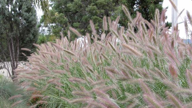 Spring gardening once a year pruning of ornamental grasses for Long ornamental grass