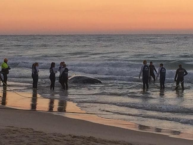 SeaWorld crews at the rescue of a beached baby whale at Palm Beach in Queensland.