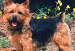 <p>Terrier - responsible for 66 attacks</p>
