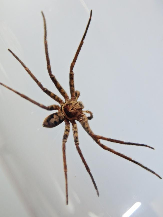 A Tropical Hunstman spider. Not attractive.