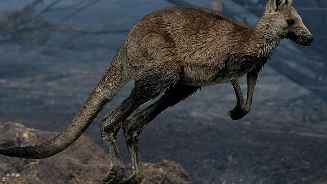 A blackened kangaroo hops away from the flames at Riddells Creek. Picture: Jay Town