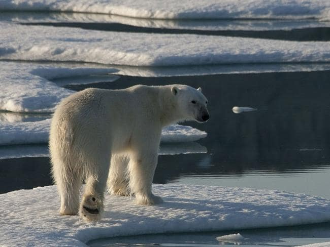 17/09/2009 WIRE: This handout photo released by Greenpeace on September 17, 2008 shows polar bear photographed in drifting and unconsolidated sea ice in Kane Basin, off Cape Clay, in northern Greenland. The Greenland icesheet responded to global warming over the past 10,000 years more quickly than thought, according to a study released on September 16. As a result, a medium-sized temperature increase this century could cause the continent-sized ice block to start melting at an alarming rate, it suggests.AFP PHOTO/HANDOUT/GREENPEACE/NICK COBBING -RESTRICTED TO EDITORIAL USE - NO ARCHIVES - NO SALES-
