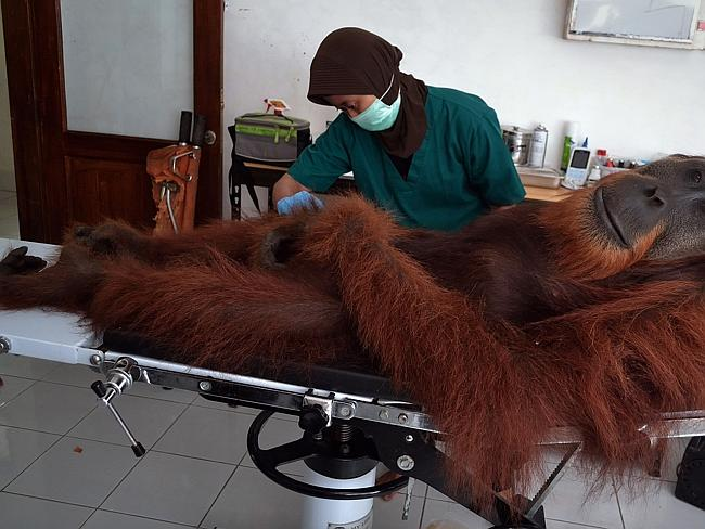 Patient ... a veterinary staff member conducts medical examinations on a 14-year-old male orangutan found with air gun metal pellets embedded in his body. Picture: Sutanta Aditya
