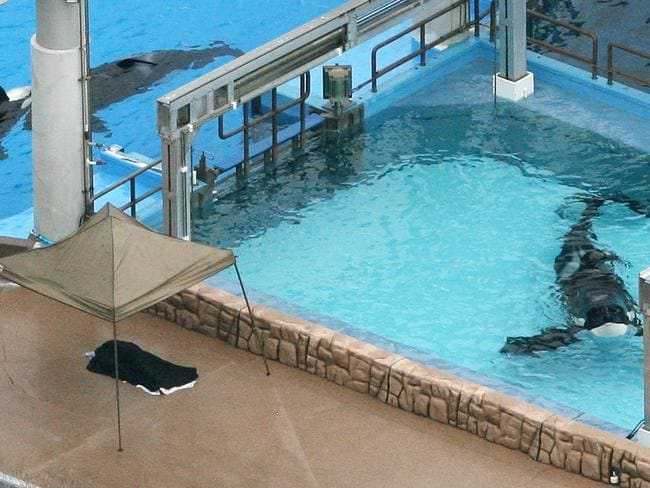 Incidents At Seaworld Parks: SeaWorld Orca Kasatka Dies After Life In Agony