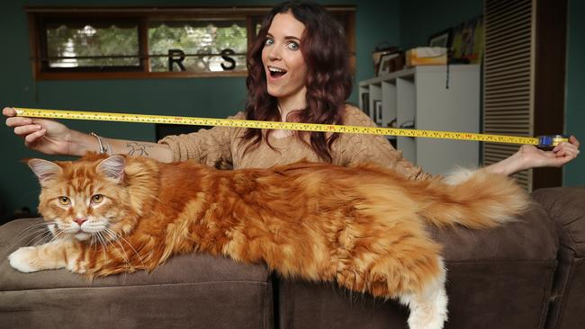 Worldu0027s Longest Cat? Maine Coon Omar From Melbourne Might Be New Guinness  World Record Holder | Leader