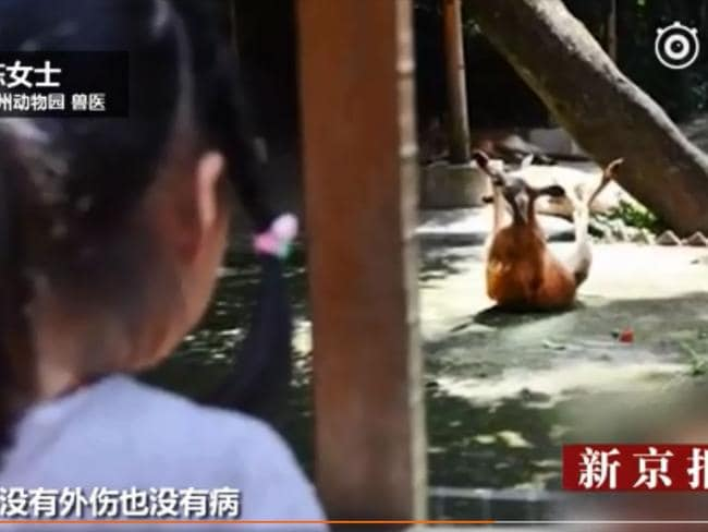 A woman looks on as the kangaroo appears to be writhing on the ground of its enclosure at Fuzhou zoo. Picture: China Central Television.