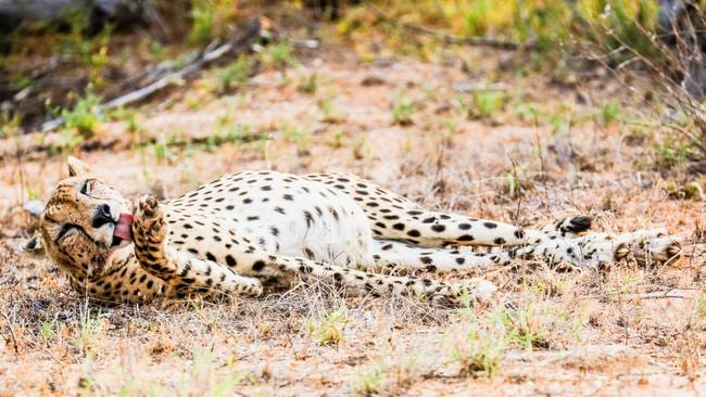 Cleaning up ... This cheetah had just finished devouring a young impala. Picture: Robert Irwin