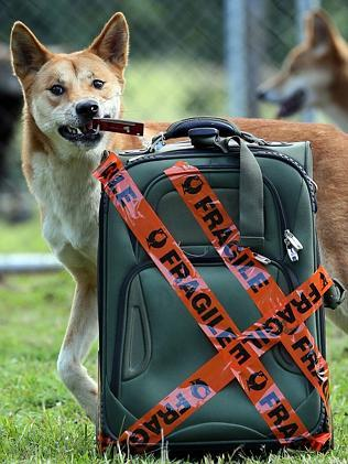 Simba the dingo is all packed for his move from Alma Park Zoo to the Big Pineapple. Picture: Glenn Barnes