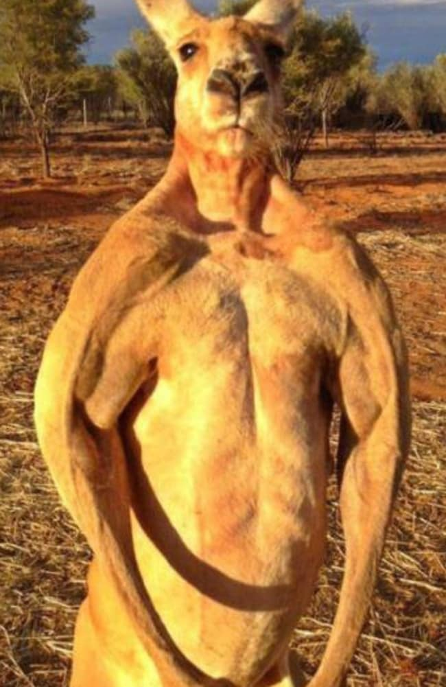 Do you even lift kangaroo - photo#49