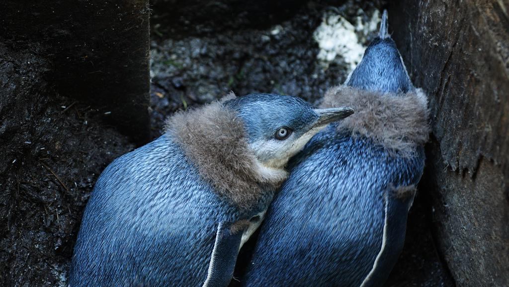 Fairy Penguins, and chick at North Head. Picture: Braden Fastier.