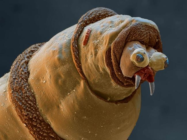 Coloured scanning electron micrograph (SEM) of the head of a maggot.