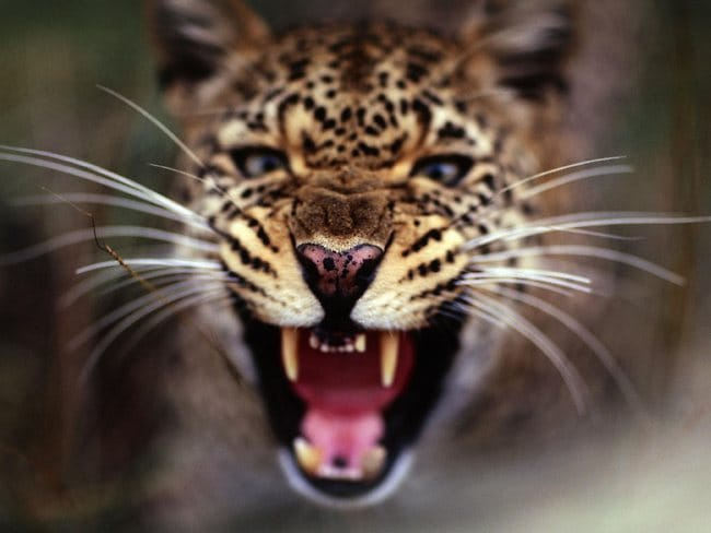 A female leopard snarls at baboons. Picture: Anup Shah/ www.shahrogersphotography.com