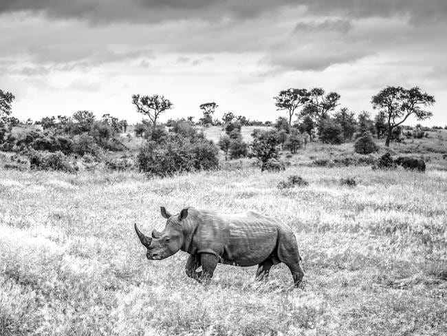 A rhinoceros in Kruger National Park. the body parts of lions and rhinos are in high demand in Asia. Picture: Supplied