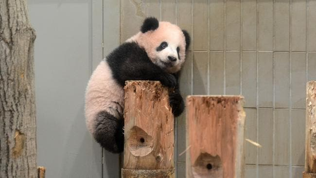 Xiang Xiang attracts thousands of fans. Picture: Tokyo Zoological Park Society
