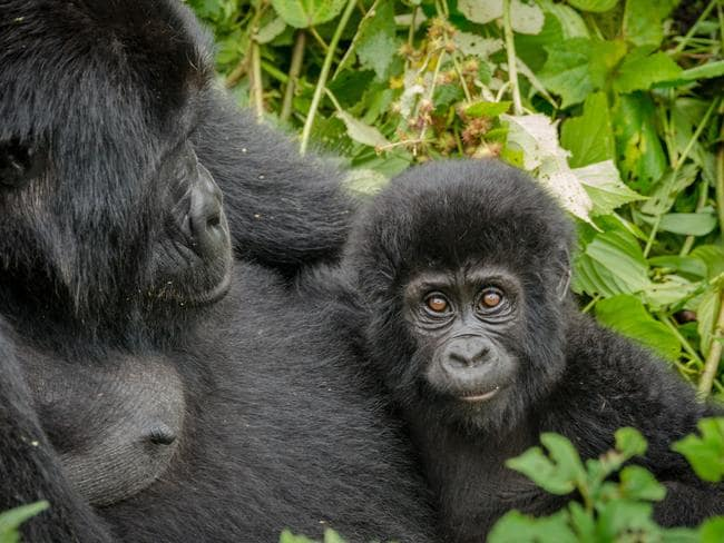 "Mother and her infant gorilla in Bwindi Impenetrable National Park. Picture: istock  <a capiid=""f8ba37358c2d3ada8ae3f9d6498d8830"" class=""capi-video"">Ecotourism In Congo​ ​Focuses on Silverback Gorillas​</a>"