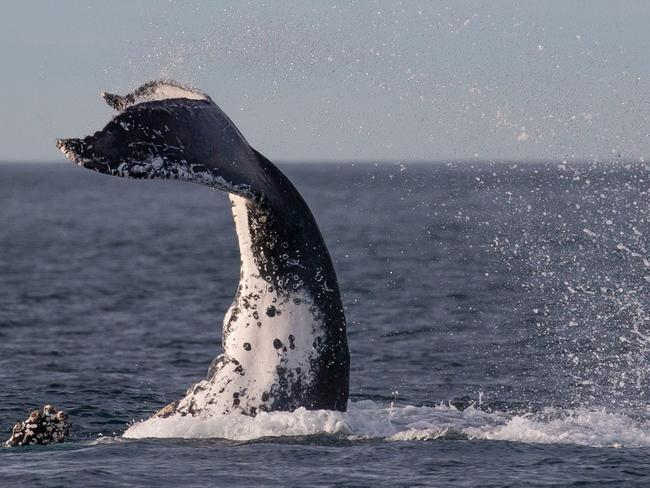 An awesome sight. Picture: John Goodridge/Whale Watching Sydney