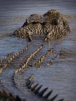 Superbly adapted to life in the wet tropics, crocs are highly territorial and battle for turf. Picture: BRAD FLEET
