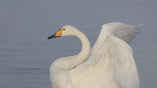 The modern-day swan may have a long-lost cousin. Source: iStock.