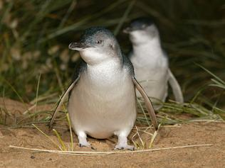 Fairy penguins at Phillip Islands' Penguin Parade