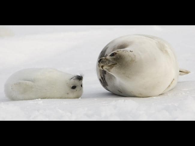 A pup harp seal and mother keep close on the ice floes off the coast of the Magdalen Islands, Quebec a few weeks before the annual seal hunt. Picture: AFP
