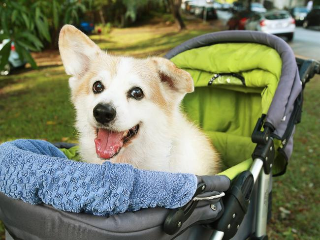 Tucker the corgi, in Ashgrove, Queensland. Tucker's owner bought a pram off eBay to push the 14-year-old pooch around in as he has hip degeneration and walking is difficult. Photo: Claudia Baxter