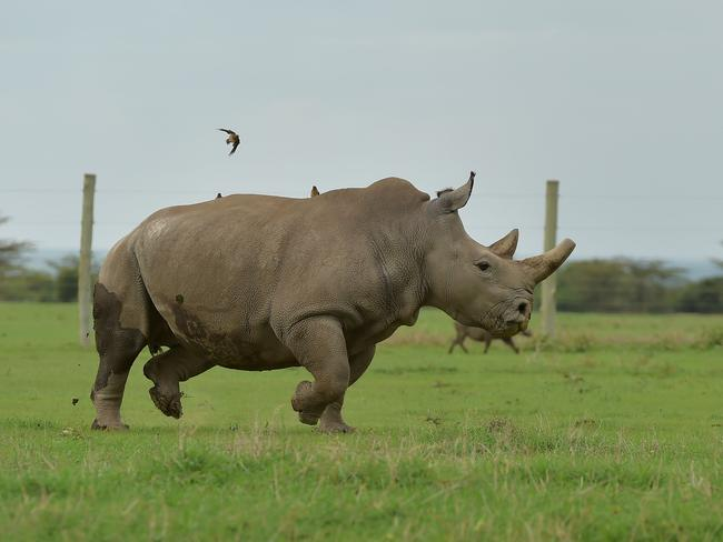 Fatu, one of the only two remaining female northern white rhino, runs in her paddock on March 20, 2018 at the ol-Pejeta conservancy in Nanyuki, north of capital Nairobi. Picture: Tony Karumba