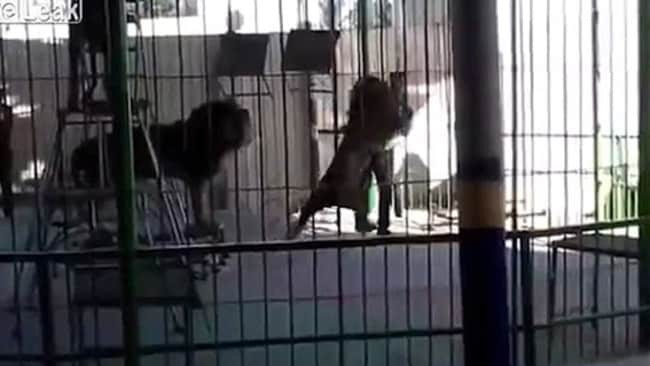 Horrific footage shows a lion tamer being killed during a live show. Source: Liveleak