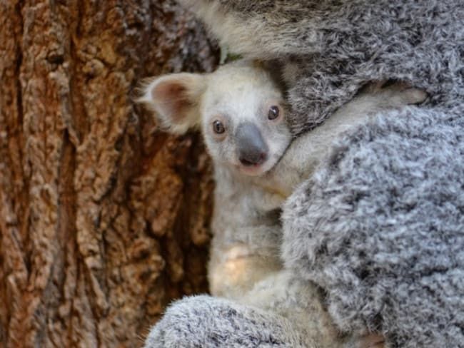 The white koala joey with mum Tia at Australia Zoo. Picture: Supplied