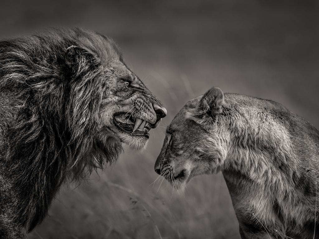 """The love story between the lion and the lioness in Masai Mara is fascinating. Anger in this case is translated as romance and care."" Picture: Mohammed Yousef, Kuwait, Shortlist, Professional Environment, 2016 Sony World Photography Awards"
