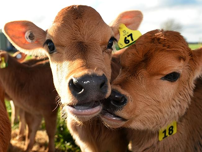 big on dairy exports ... these calves are waiting to be fed on a dairy farm near Cambridge in New Zealand's Waikato region, known for its fertile land and dairy industry. Picture: AFP