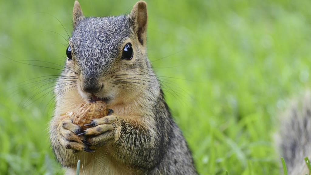 A squirrel (not pictured) went nuts after drinking alcohol inside a club in the UK. Picture: Thinkstock