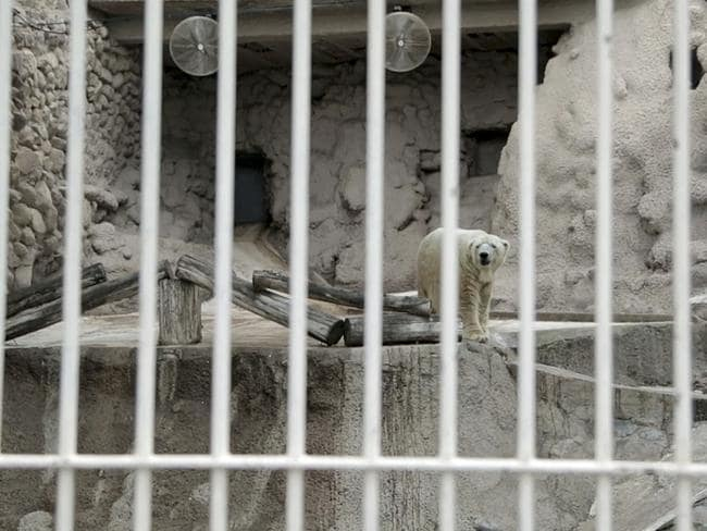 Captive ... Arturo stands inside his cage at the zoo in Mendoza, Argentina. Pic: APTN, Pablo Astie