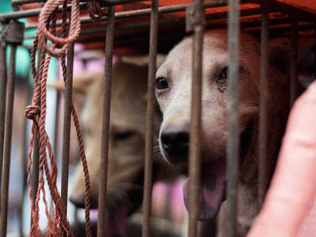 A dog looks out from its cage at a stall as it is displayed by a vendor as he waits for customers during a dog meat festival at a market in Yulin. Picture: AFP