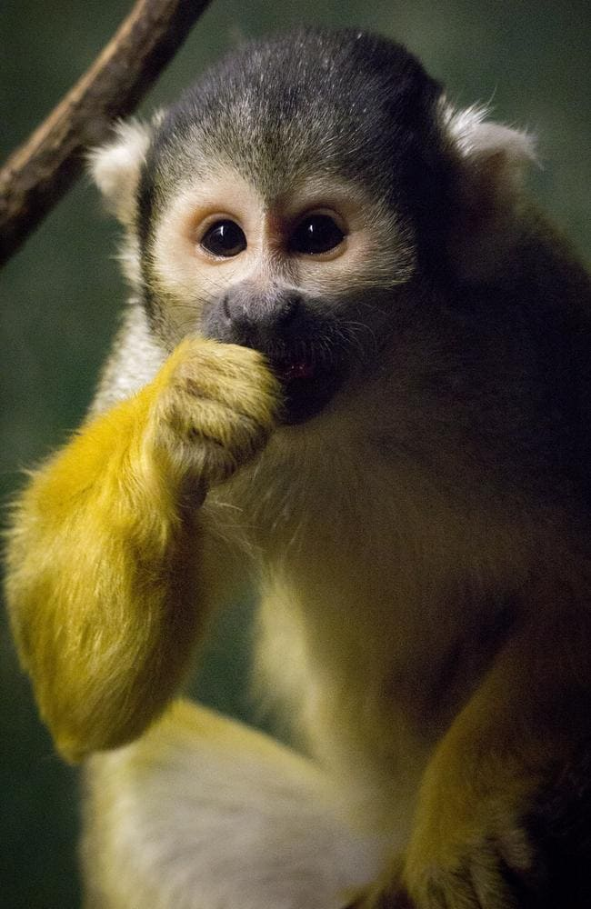 It's a squirrel monkey!