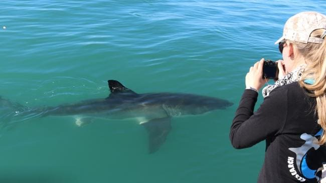 Shark researcher Channing Egeberg photographing a shark. Picture: Support Our Sharks