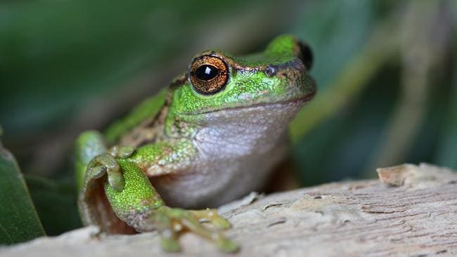The Spotted Tree Frog is just one of the many endangered species.
